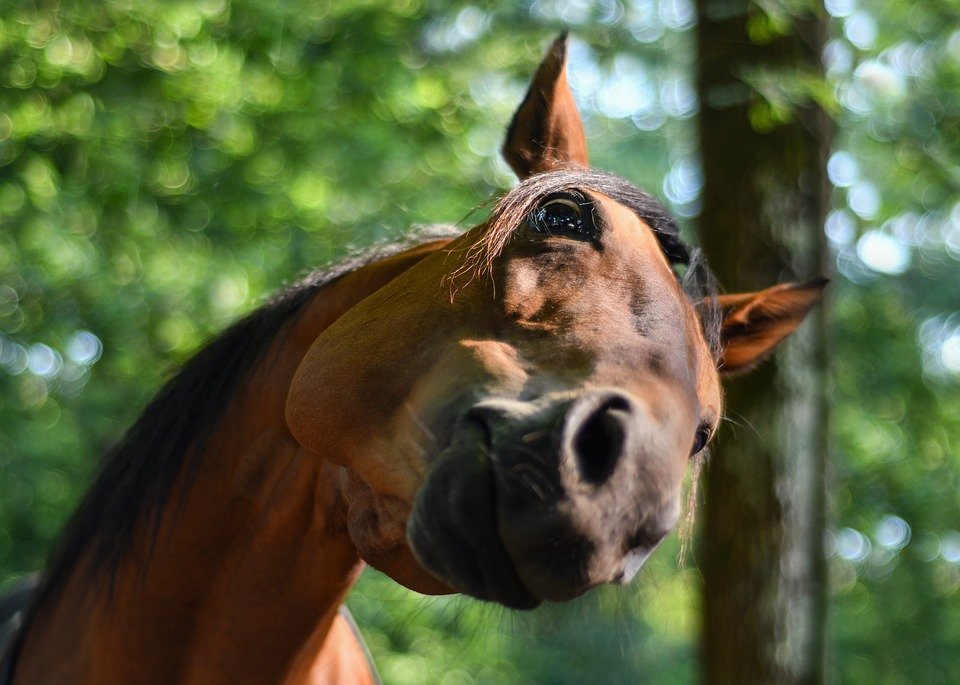 Ciekawe.org - nieoczywiste ciekawostki na temat koni, koń, konie