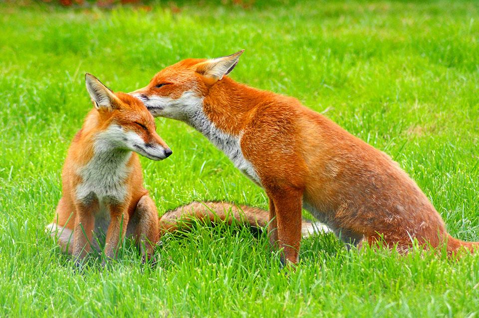 Lis, lisy, lis rudy, ciekawostki na temat lisów na Ciekawe.org