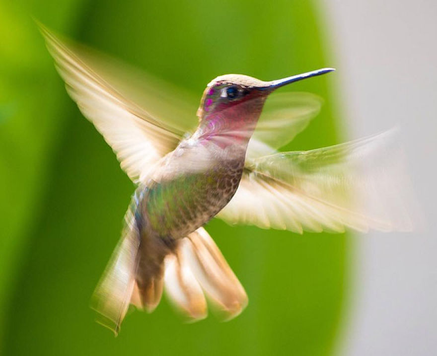 Koliber, kolibry, ciekawostki i ciekawe fakty o kolibrach i na temat kolibrów na Ciekawe.org