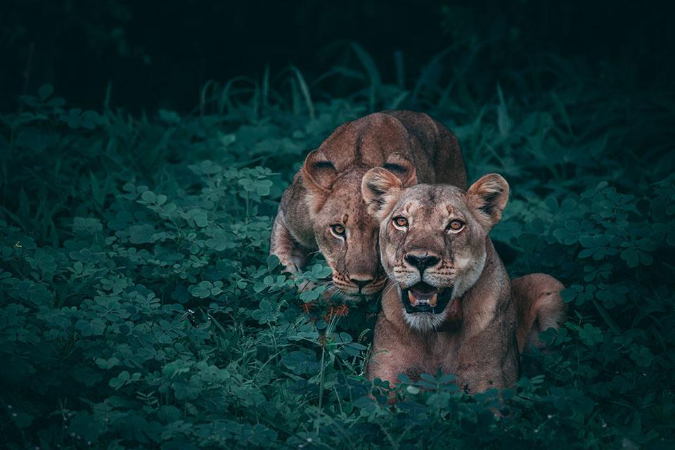 Lew, lwy, lwice, ciekawostki o lwach na Ciekawe.org