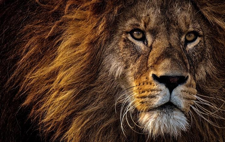 5 nieoczywistych ciekawostek o lwach
