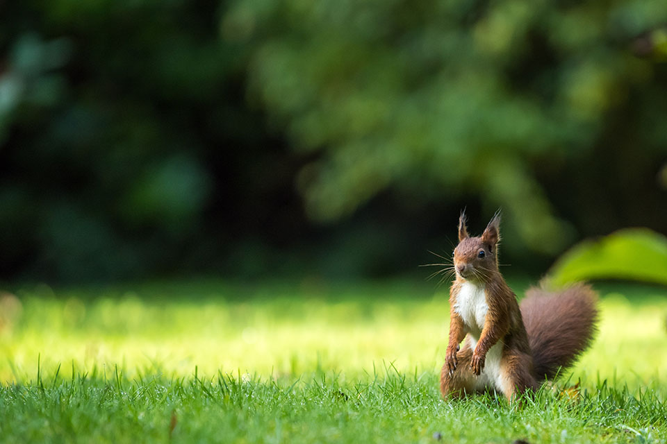 Wiewiórka, wiewiórki, nieoczywiste ciekawostki na temat wiewiórek na Ciekawe.org