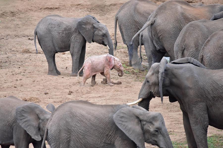 Biały słoń - białe, albinotyczne słoniątko na Ciekawe.org