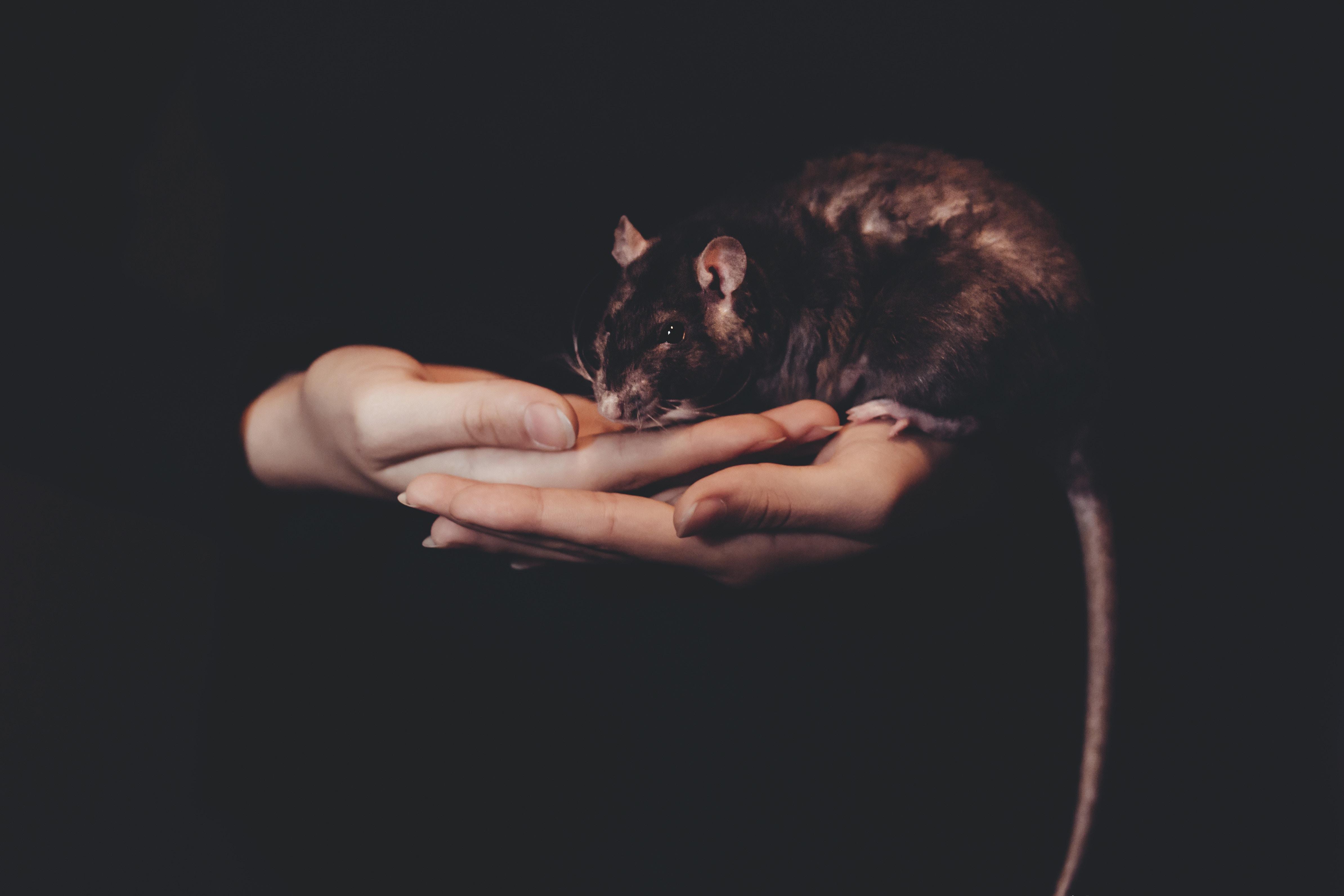 5 nieoczywistych ciekawostek o szczurach